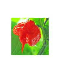Graines de piment Carolina Reaper