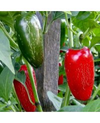 Graines de piment Jalapeno Early