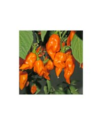 Graines de piment Jolokia Orange Chili