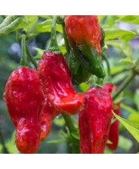 Graines de piment Naga Morich Red