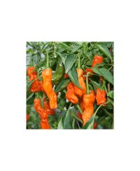 Graines de piment Peter Pepper orange